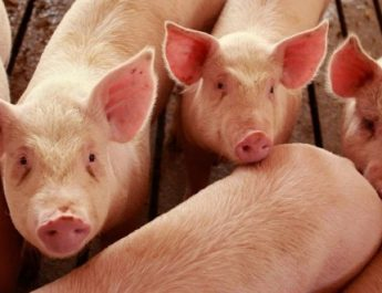VÂLCEA. 20 de porci transportați ilegal, confiscați și eutanasiați