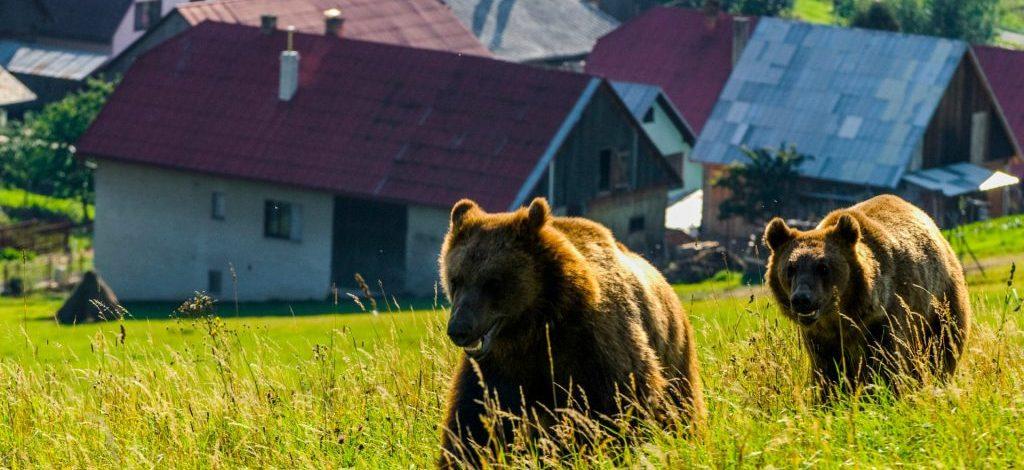 Urșii își fac simțită prezența în satele din Vâlcea. 5 mesaje Ro-Alert în ultimele 10 zile